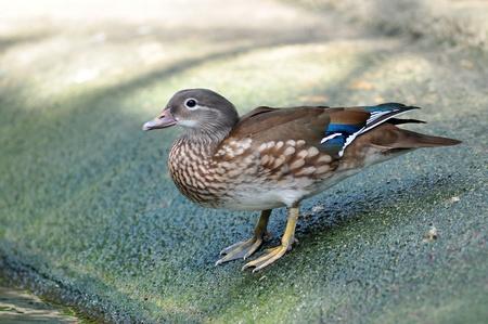 aix galericulata: Closeup female mandarin duck (Aix galericulata) sitting on stone Stock Photo