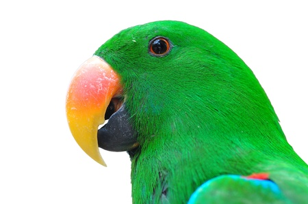 Closeup head Male eclectus parrot isolated on white  photo