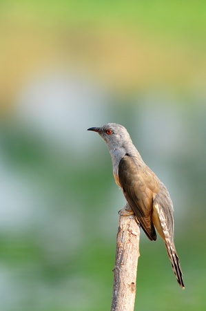 plaintive: Plaintive Cuckoo bird siiting on branch whit green background from Thailand Stock Photo