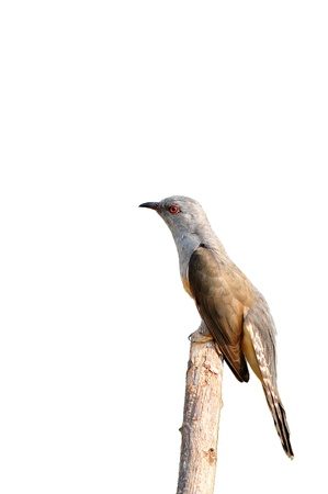 plaintive: Plaintive Cuckoo bird siiting on branch whit white background from Thailand Stock Photo