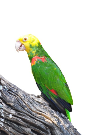 Close-up of yellow headed amazon parrots isolated on white background  photo