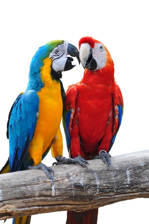 colorful parrot love bird macaw isolated on white background Stock Photo