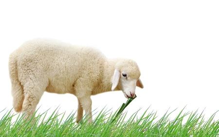 Sheep eating fresh green grass on white background  Stock Photo
