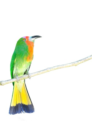 green red bird (Red bearded Bee eater) sitting on branch on white background  Stock Photo - 13108856