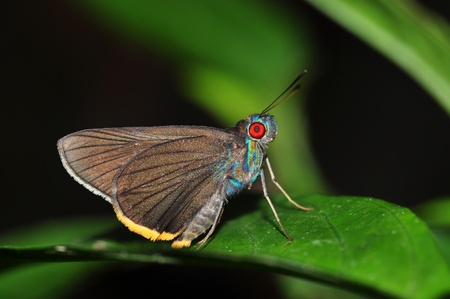 Red eye butterfly  Fringed Redeye  on leaf  Stock Photo - 13116888