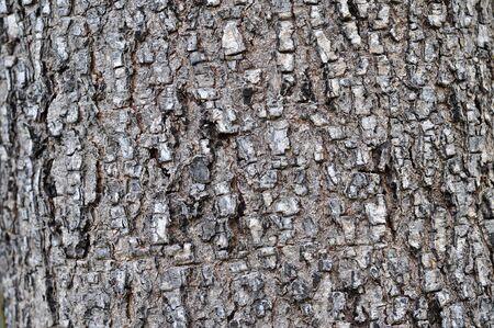 Bark of Pine Tree photo