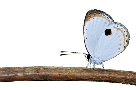 quaker: white butterfly (forest quaker) on branch isolated on white background