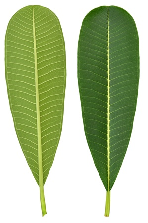 Perfect new plumeria or frangipani leaf and flower, isolated on white