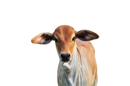jersey cow: funny young cow on white background