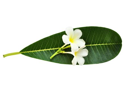 Perfect new plumeria or frangipani leaf and flower, isolated on white   photo