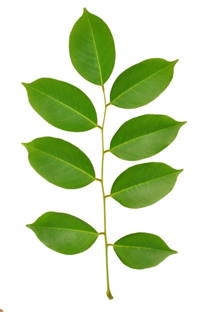 Isolated green leaf of tree  Element of design  Stock Photo - 13235111