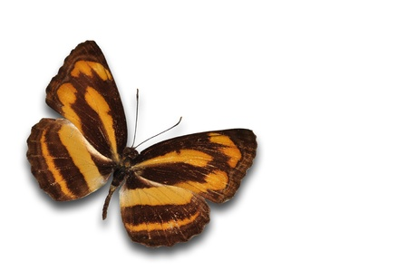 Beautiful brown butterfly against the white background photo