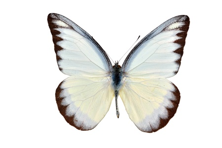 white butterfly: butterfly yellow spotted isolated on white background