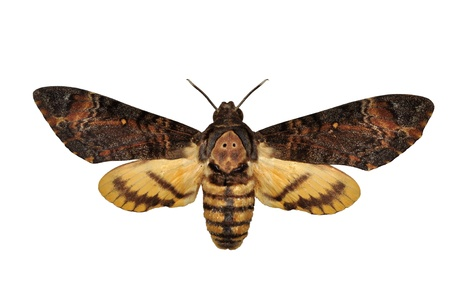 mimetism: Death head Hawkmoth butterfly isolated
