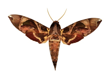 mimetism: Hawkmoth butterfly isolated Stock Photo