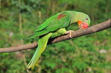 gcc: Female Alexandrine Parakeet