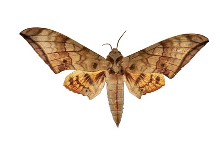Hawkmoth butterfly isolated Stock Photo
