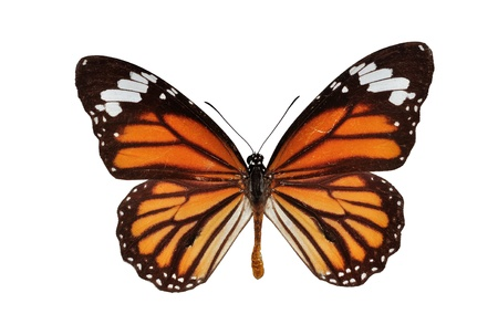 monarch butterfly: Isolated monarch butterfly