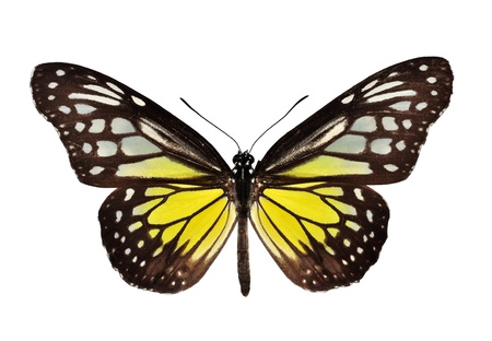 Yellow butterfly (The Yellow Glassy Tiger) isolated on white  photo