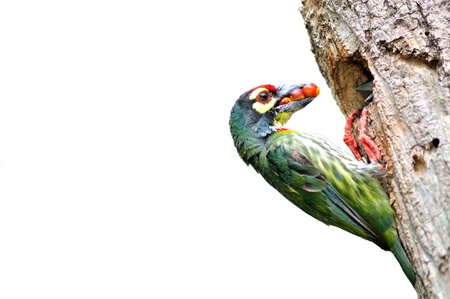Coppersmith barbet bird feeding her young one on white background photo