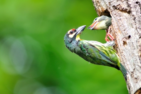 Coppersmith barbet bird feeding her young one Stock Photo - 13506774