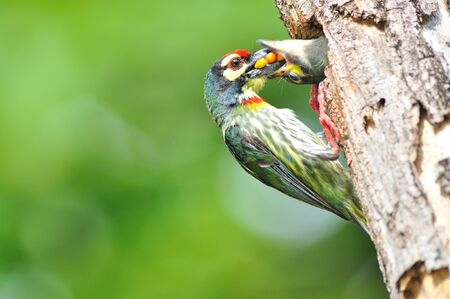 Coppersmith barbet bird feeding her young one photo