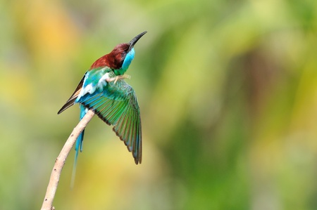 Blue bird (Blue throated Bee eater) photo