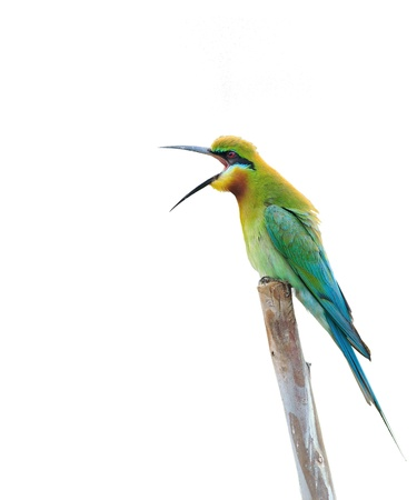 bird isolated (Blue tailed Bee eater) sitting on branch photo