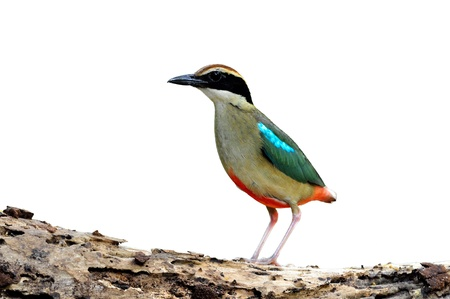 bird (Fairy pitta) isolaed on white photo