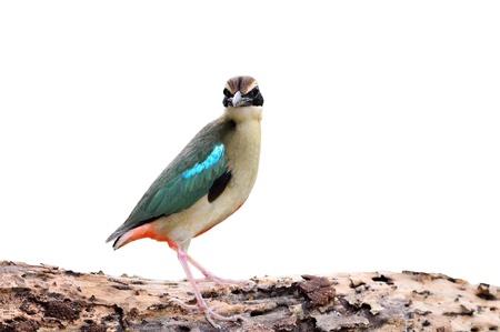bird (Fairy pitta) isolaed on white photo