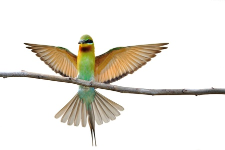 bird wings: bird isolated (Blue tailed Bee eater) sitting on branch