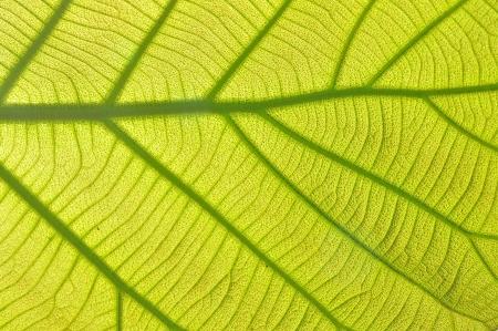 Green leaf background texture, macro photo