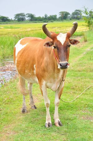 Asian Cow on the field  photo