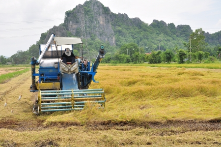 Farm worker harvesting rice with tractor in Thailand photo
