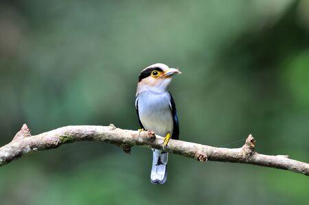 Bird (silver-breasted broadbill, Serilophus lunatus) on nature photo