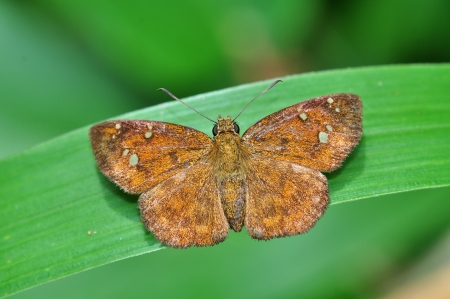 fulvous: butterfly (Fulvous Pied Flat) on leaf