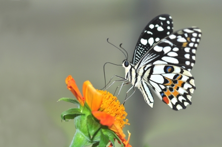 lime butterfly on sunflower