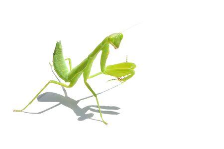 mantid: Praying Mantis. on white background