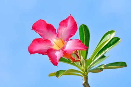 impala lily flower Stock Photo - 14125658