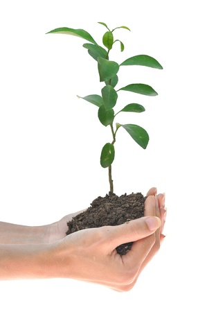 lemon sapling in hands  photo