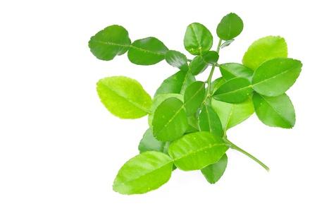 sanguijuela: Tres hojas de lima sanguijuela aislado en blanco