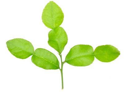 sanguijuela: Tres sanguijuela cal hoja verde aislado en blanco
