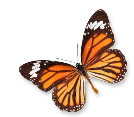 Monarch Butterfly Flying on Isolated White photo