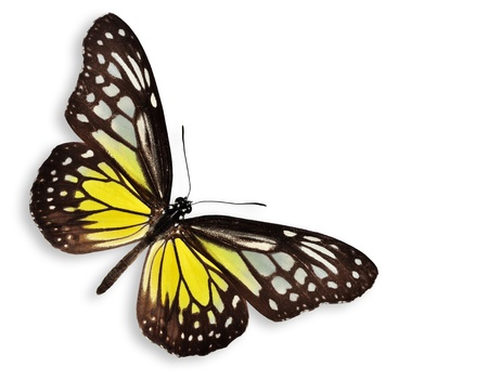mariposa: Yellow butterfly (The Yellow Glassy Tiger) isolated on white