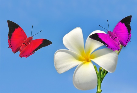 White Frangipani flowers with butterflies on blue sky photo