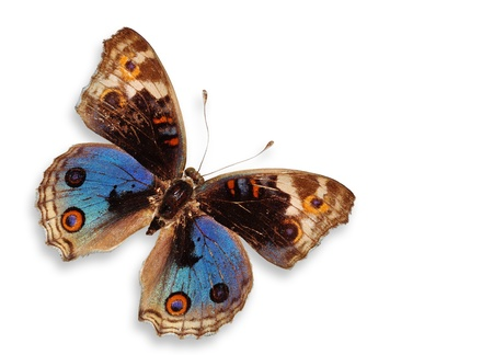 Blue Butterfly Isolated (Blue Pancy Butterfly) Stock Photo