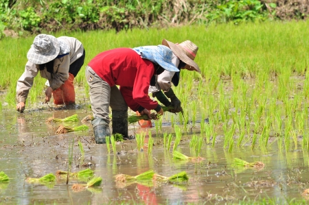 rice seedling transplanting in north part of Thailand. photo