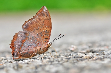 tawny: Red butterfly (Tawny Rajah, Charaxes bernardus) on road.