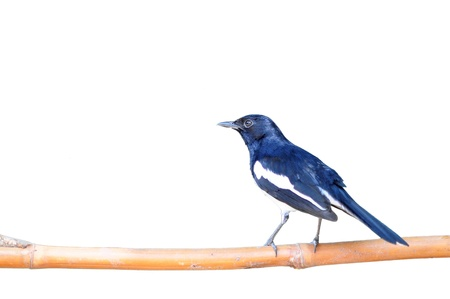 Bird Magpie isolated against white background. photo
