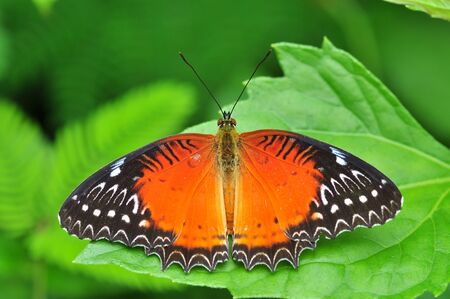 biblis: Red butterfly (red lacewing) on green leaves.
